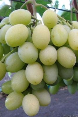 Виноград Тузловский великан