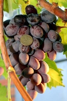 Виноград Зарево