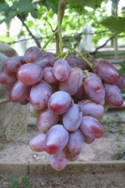Виноград Граф Монте Кристо