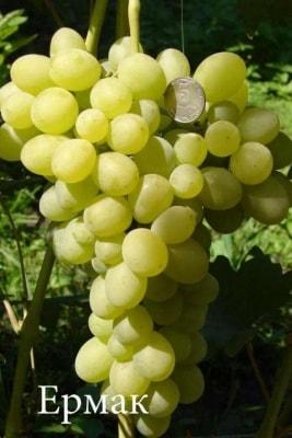 Виноград Ермак