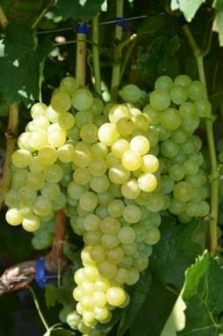 Виноград Ниагара