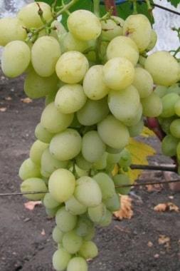 Виноград Мускат посада