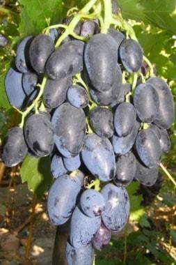 Виноград Рада