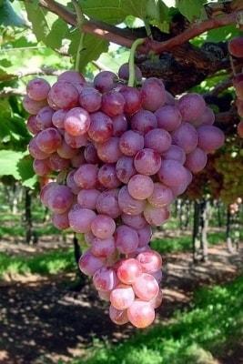 Виноград Руби сидлис