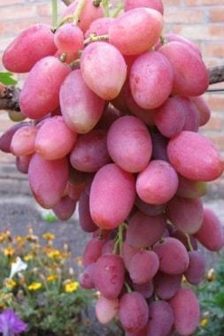 Виноград Розалинда