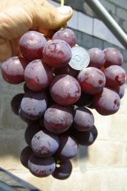 Виноград Рошфор