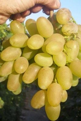 Виноград Дева Мария