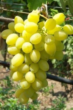 Виноград Аксинья