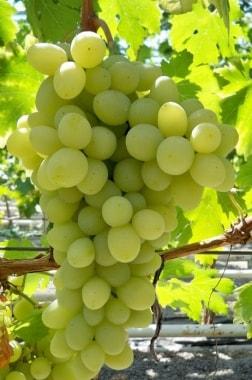 Виноград Адьютант
