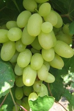 Виноград ТП-95
