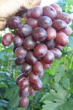 Виноград Пола