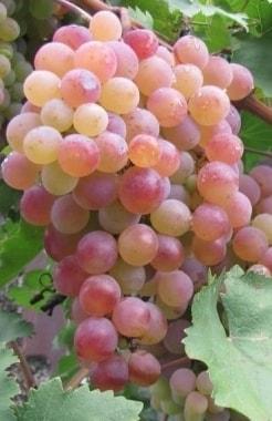 Виноград Юрин