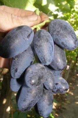 Виноград Черная Пантера