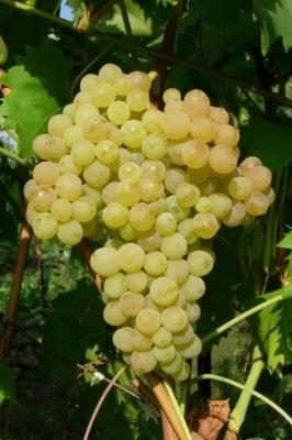 Виноград Киш-миш 342