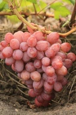 Виноград Гурман Лакомка