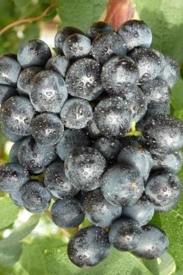 Виноград Летний Королевский