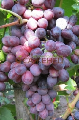 Виноград Супериор