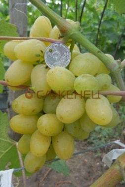 Виноград Первозванный
