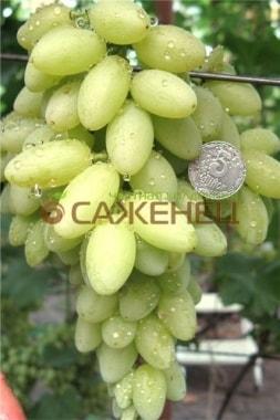 Виноград Арсеньевский