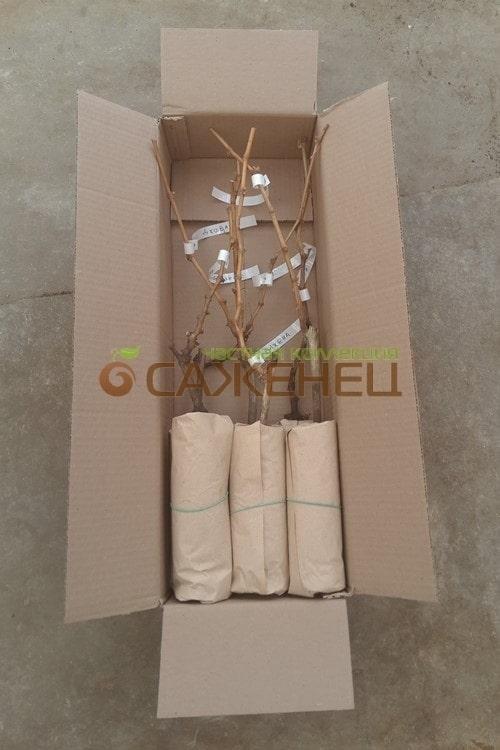 Упаковка саженцев винограда