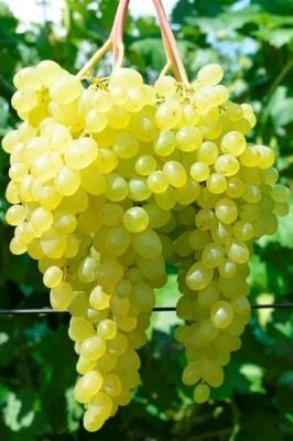 Виноград Сверхранний бессемянный