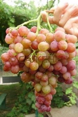 Виноград Голд киш-миш