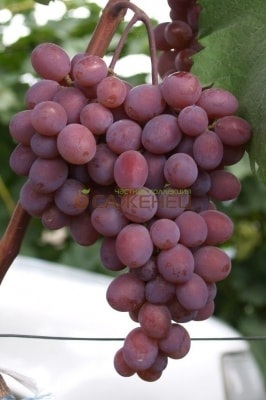 Виноград Киш-миш Запорожский