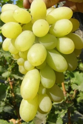 Виноград Русалка
