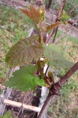 Лист винограда Велика