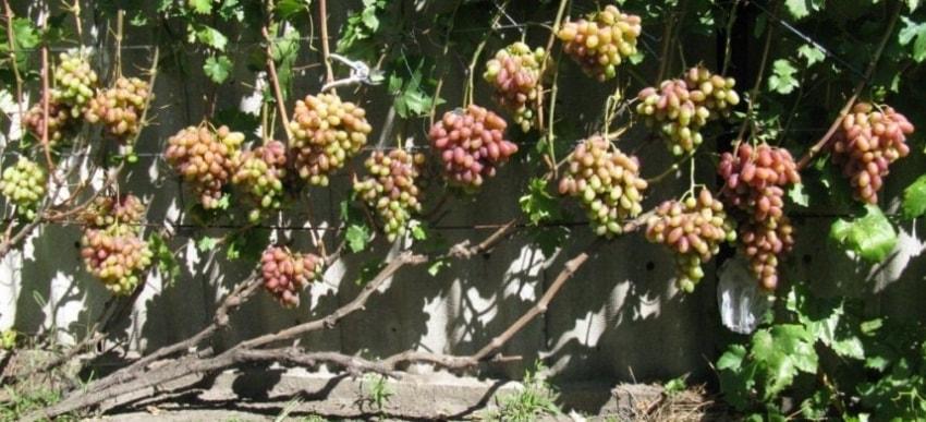 Урожай Юлиана