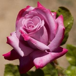 Бутон розы Парадиз