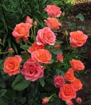 Куст розы Вау