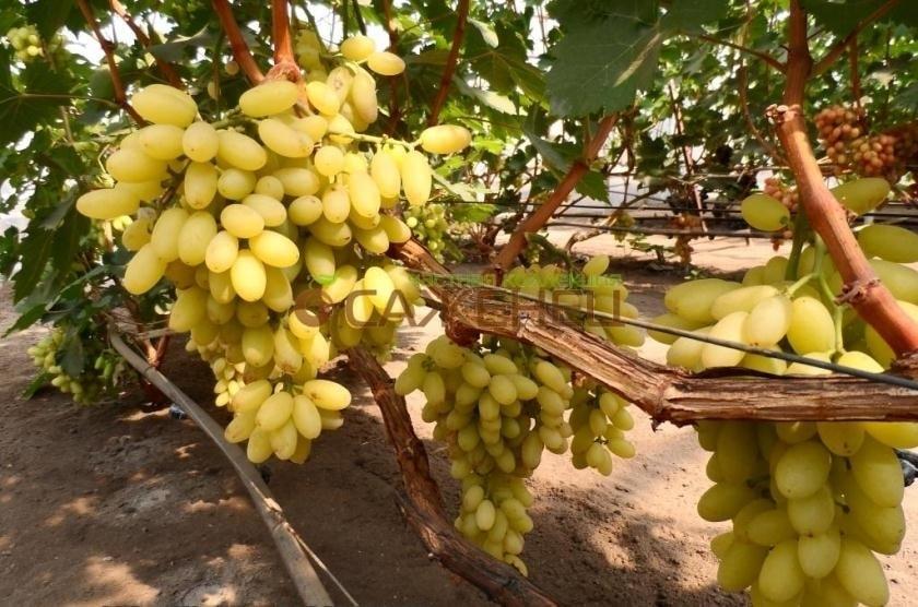 Гроздь винограда Столетие