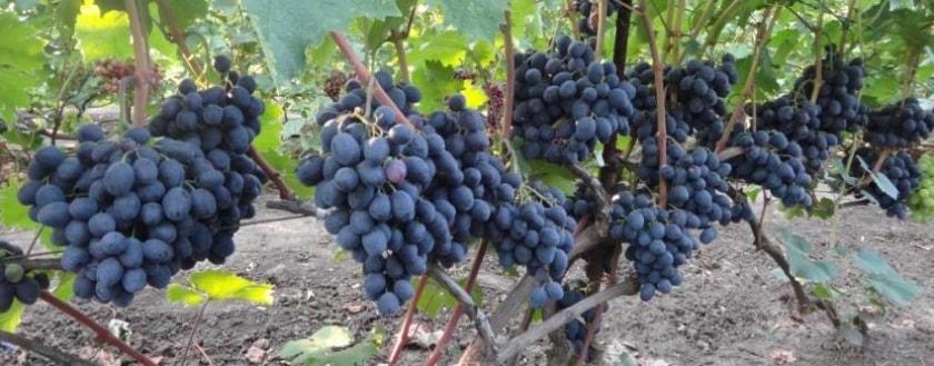 Куст винограда руслан
