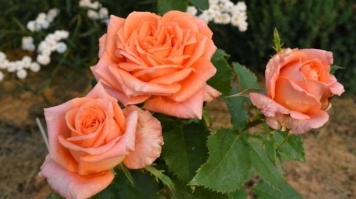Куст розы Эльдорадо