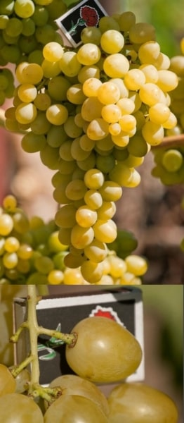 Гроздь и ягода винограда супер-экстра