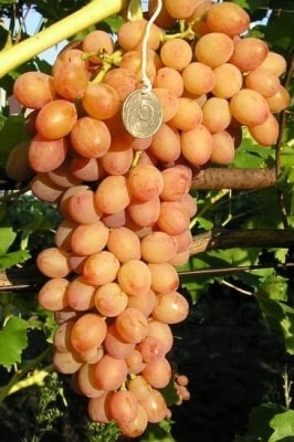 Виноград Киш-миш лучистый
