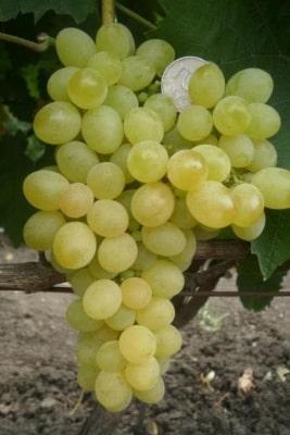 Виноград Коктейль