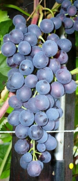 гроздь агата