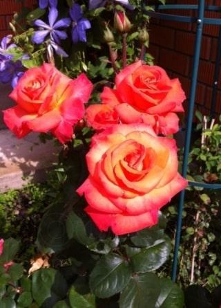 Цветение розы Христофор Колумб