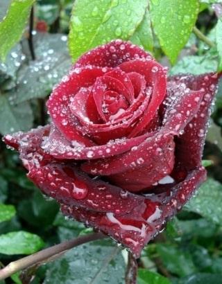 Цветок Баркароле