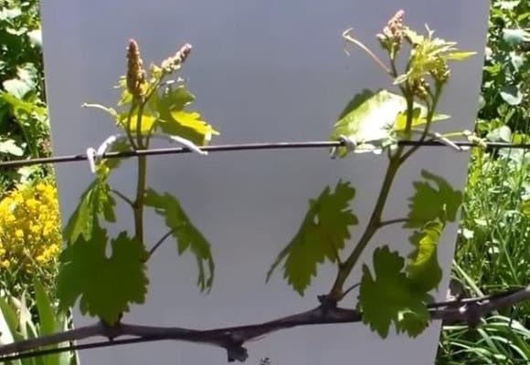 Первая подвязка винограда мае