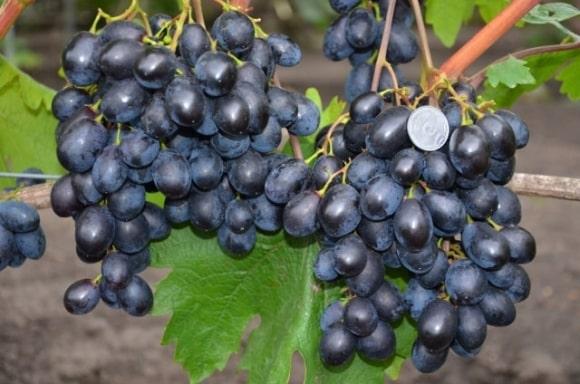 Урожай винограда Черный Хрусталь