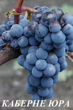 Виноград Каберне Юра