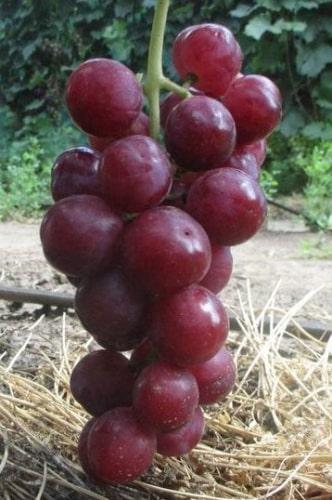 Памяти Буйненко гроздь