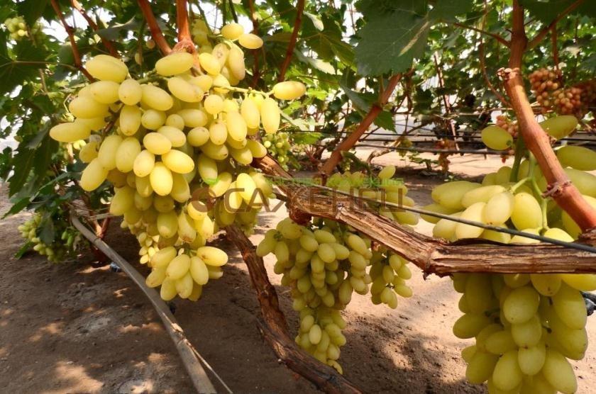 виноград кишмиш молдавский описание сорта фото