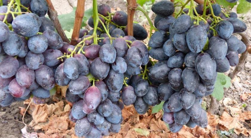 виноград сорт фурор