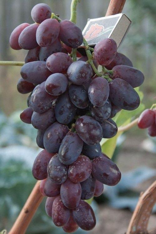 виноград ризамат фото и описание