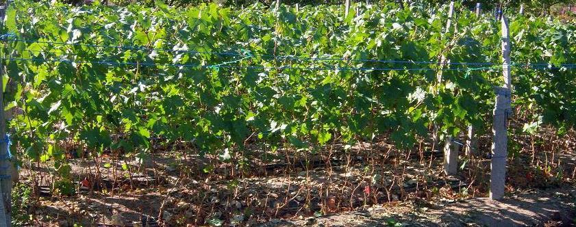продажа саженцев винограда оптом