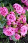 Розовый спрей